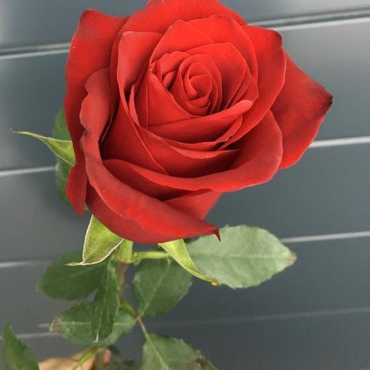 Роза красная (50см)