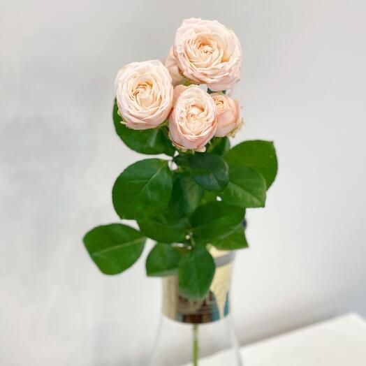 Бомбастик пионовидная кустовая Роза
