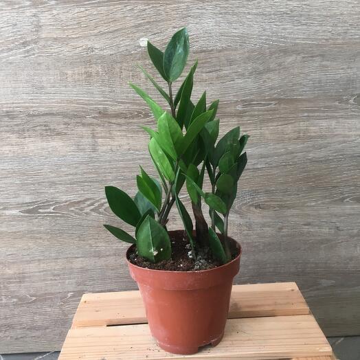 Zamiokulkas Zamifolia