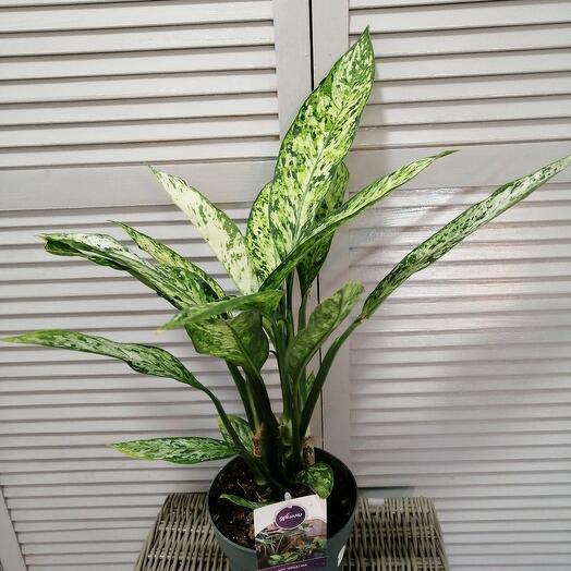Комнатное растение Дифенбахия