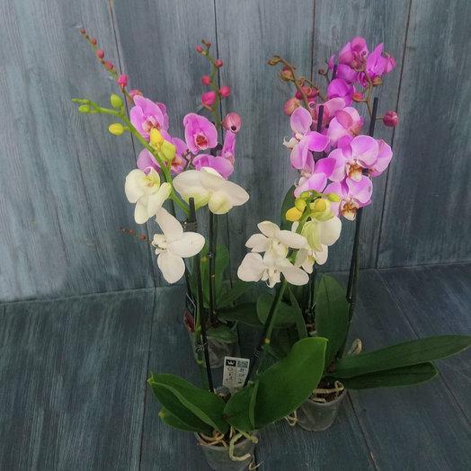 Орхидея Фаленопсис 2-ствол