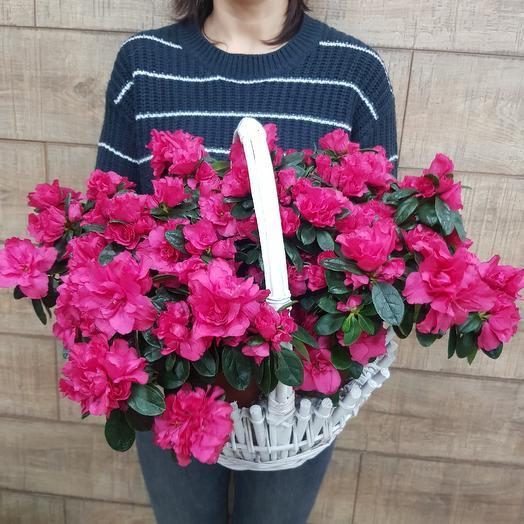 Огромная корзина азалии по супер цене: букеты цветов на заказ Flowwow