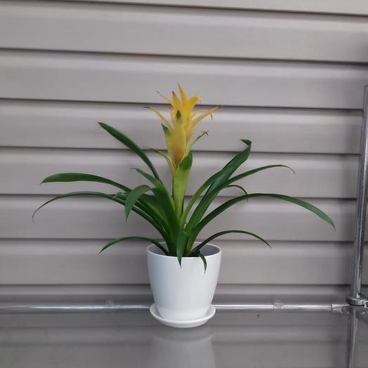 Горшечное растение Гузмания