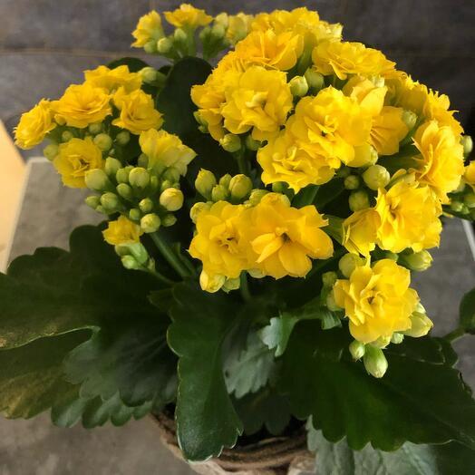 Комнатное растение Каланхоэ в кашпо