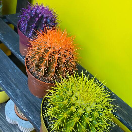 Кактус разноцветный (1 шт)