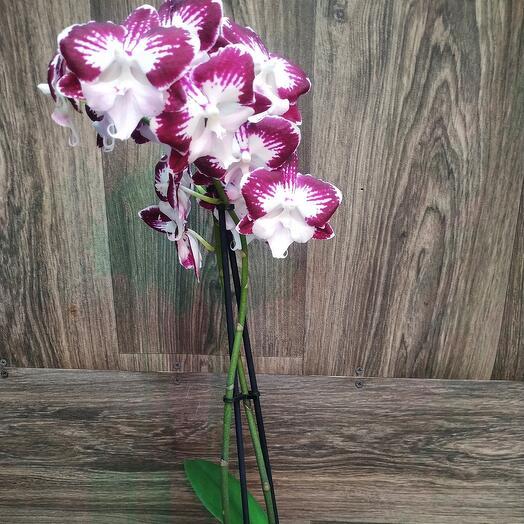 Комнатное растение орхидея Фаленопсис Big lipstick