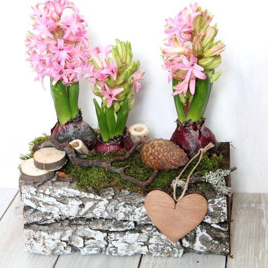 Гиацинты в декоративном кашпо