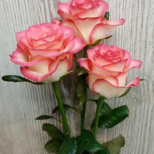 Роза Джамиля 3 шт