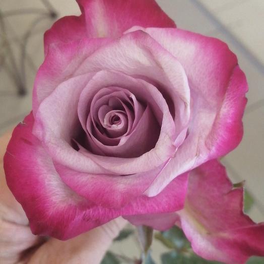 Роза Deep Perpl 50 см