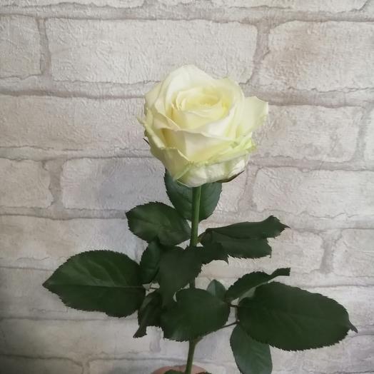 Белая роза аваланж 1шт 60см