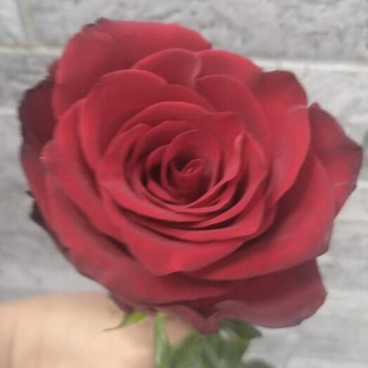 Роза Эксплорер