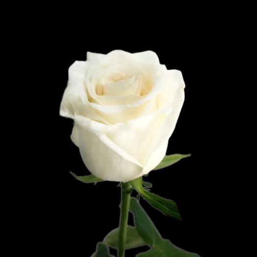 Роза Dolomiti 60 см