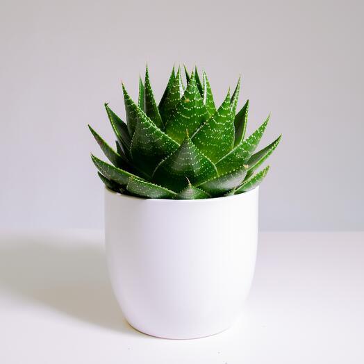 """Растение """"Алоэ Космо"""" пересаженное в Белый овал горшок"""