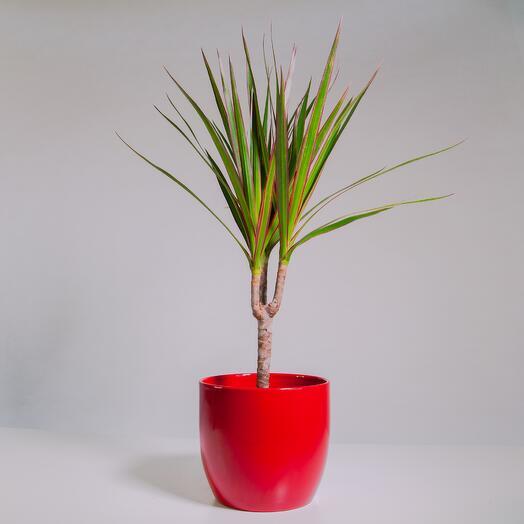 """Растение """"Драцена Маргината Маджента"""" пересаженное в Красный горшок"""