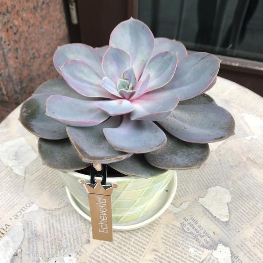 Каменная роза в керамическом горшке: букеты цветов на заказ Flowwow