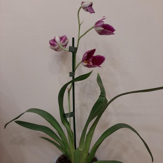 Мильтония: букеты цветов на заказ Flowwow