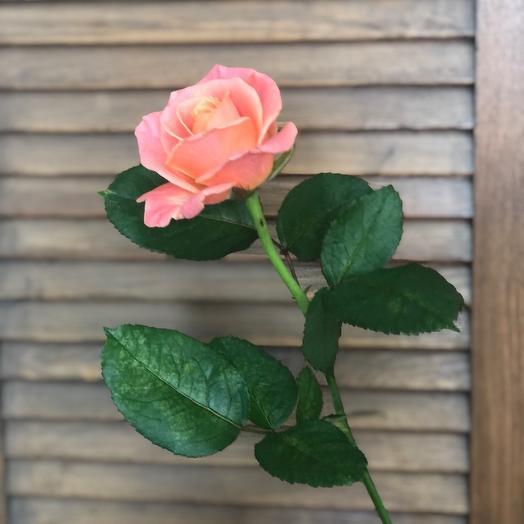 Роза Мисс Пигги 50
