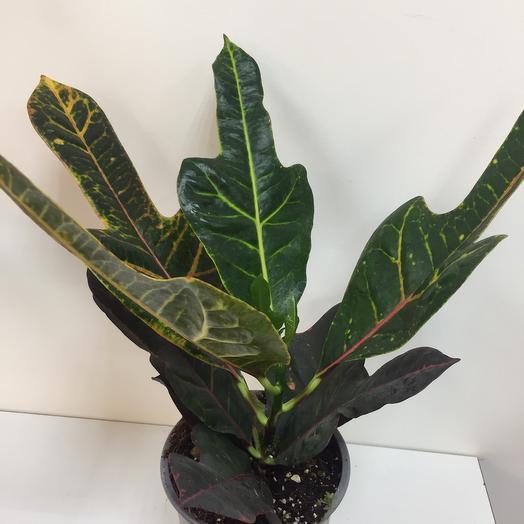 Комнатное растение Кодиум