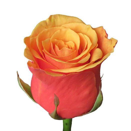 Красно-жёлтая роза