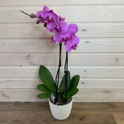 Орхидея фаленопсис в горшке (двух веточная)