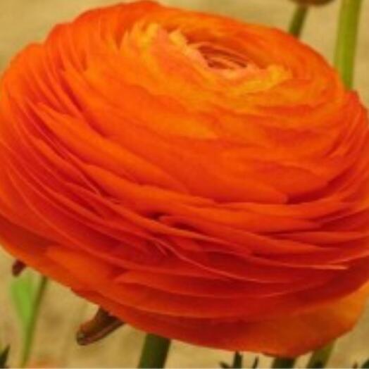 Ранункулус оранжевый