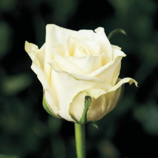 Роза сорта Аваланж