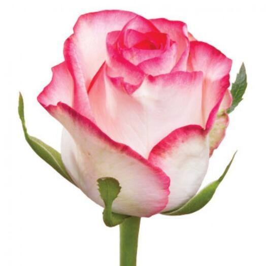 Роза Джамиля (Jumilia) 60см