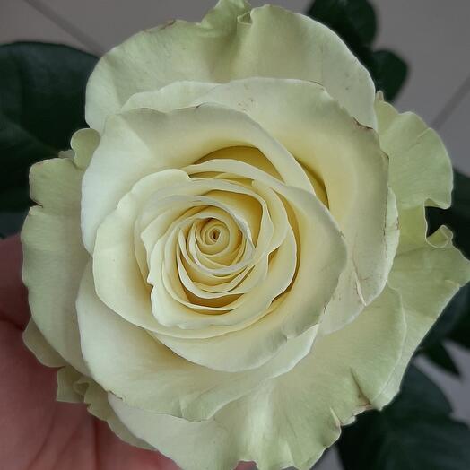 Роза Мондиаль 70