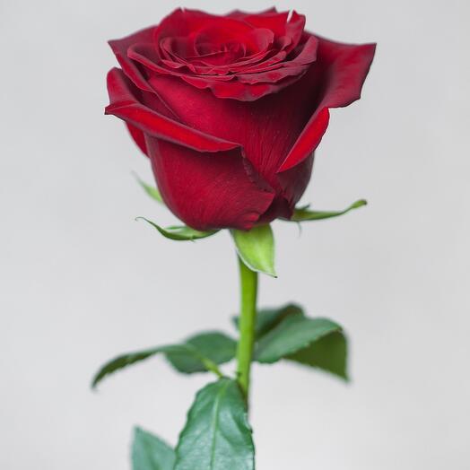80см Роза Эксплорер