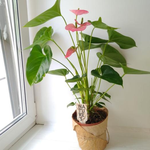 Антуриум Андрианум: букеты цветов на заказ Flowwow