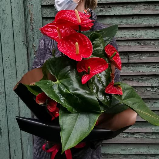Антуриум Андреанум Мадурал: букеты цветов на заказ Flowwow