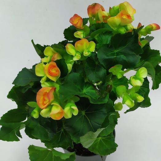 Комнатное растение ( Бегония