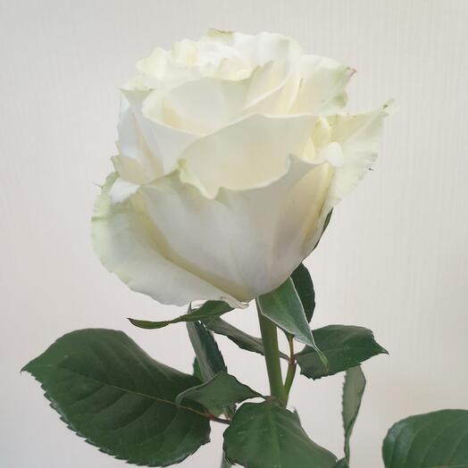 Роза Мондиаль Эквадор 60 см