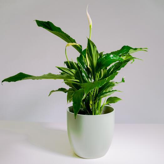 """Растение """"Спатифиллум Свит Чико"""" пересаженное в Фисташковый горшок"""