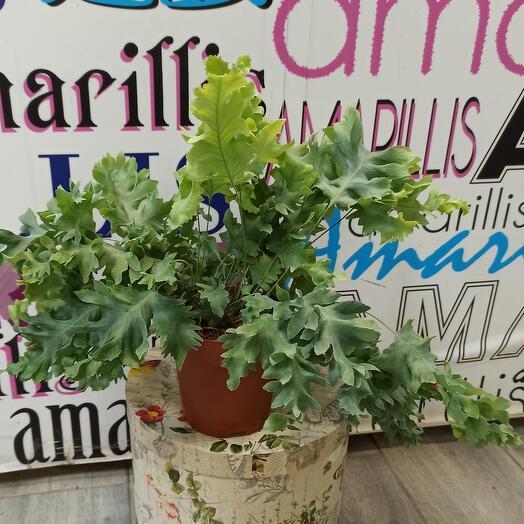 Комнатное растение  папоротник Флебодиум