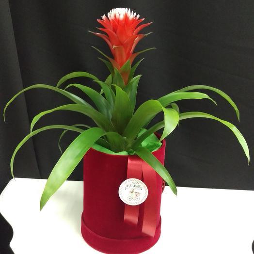 Гузмания в коробке: букеты цветов на заказ Flowwow
