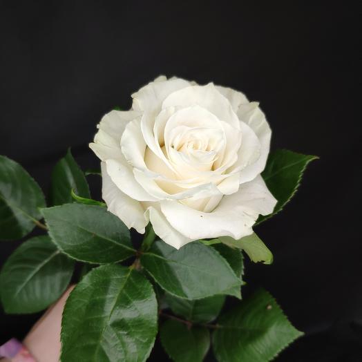 Роза Мондиаль 50 см