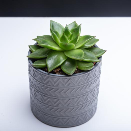 Суккулент в керамическом кашпо