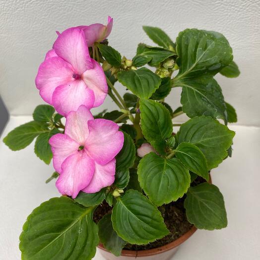 Комнатное растение бальзамин