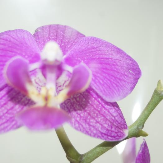 Фаленопсис сиреневый двойной: букеты цветов на заказ Flowwow