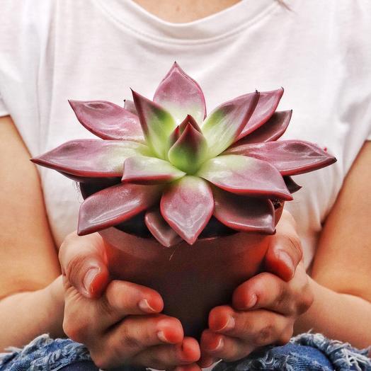 Эхеверия Рубин: букеты цветов на заказ Flowwow