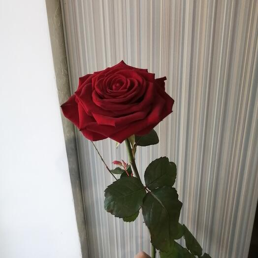 Роза Ред Наоми 70-80см