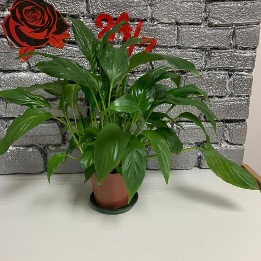 Комнатное растение спотифилиум