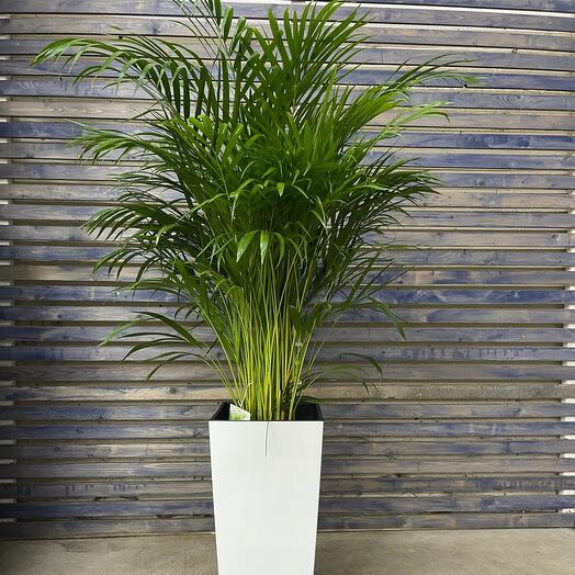 Пальма в белом кашпо