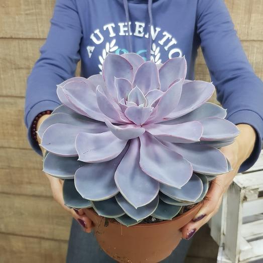 Гигантская каменная роза: букеты цветов на заказ Flowwow