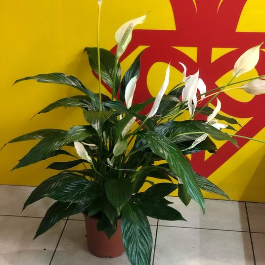 Спацифилум: букеты цветов на заказ Flowwow