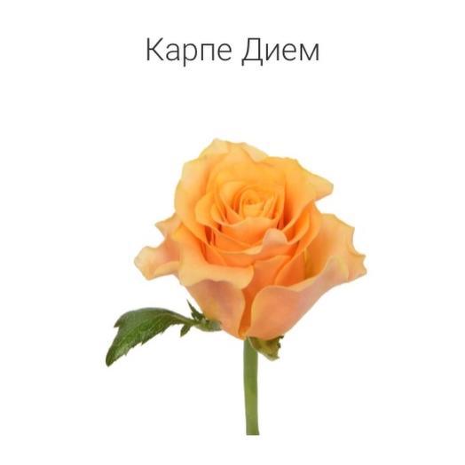 Роза «Карпе дьем» 40 см