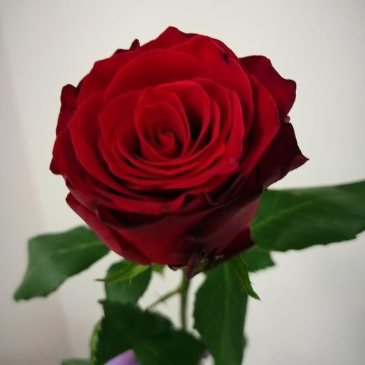 Красная роза сортовая