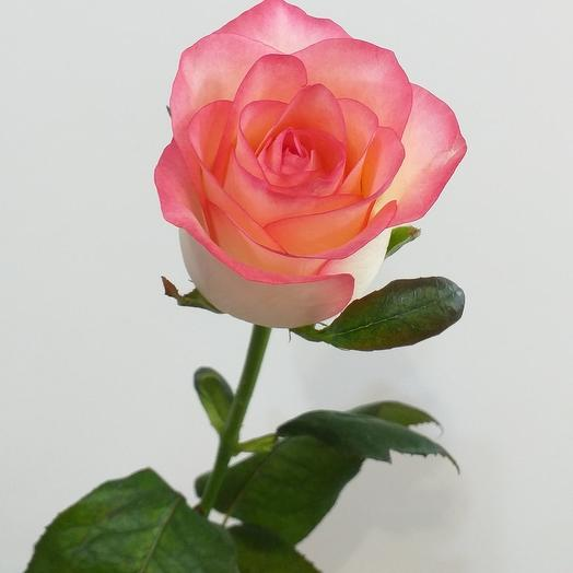 Роза Джумилия, 60см