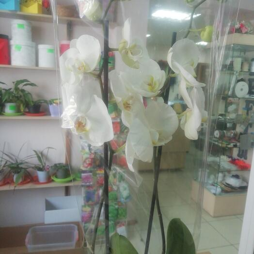 Indoor plant Orchid